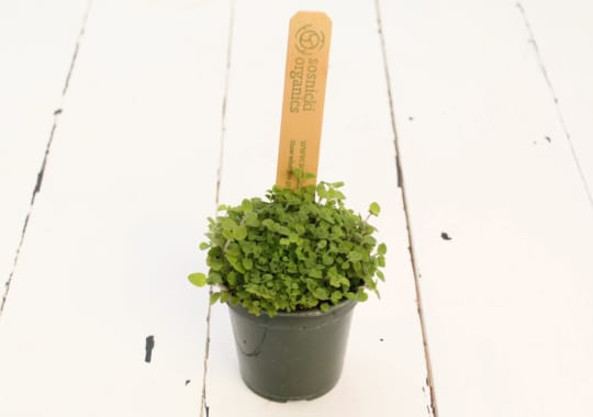Herb (Oregano, Potted)