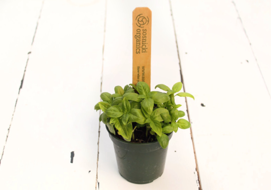 Herb (Basil, Potted)