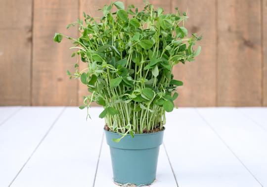 Pea Shoots (Living)