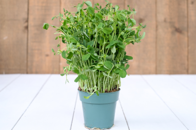 Pea Shoots (Living Earth Farm)