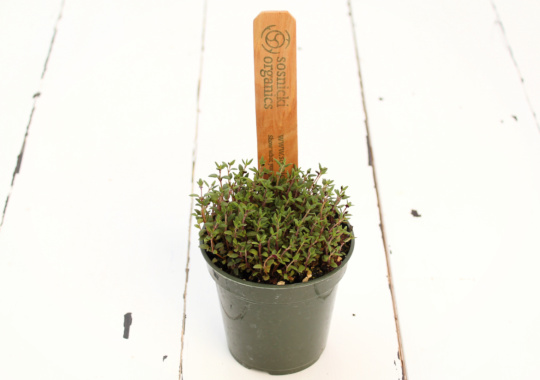 Herb (Thyme, Potted)