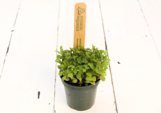 Herb (Mint, Potted)