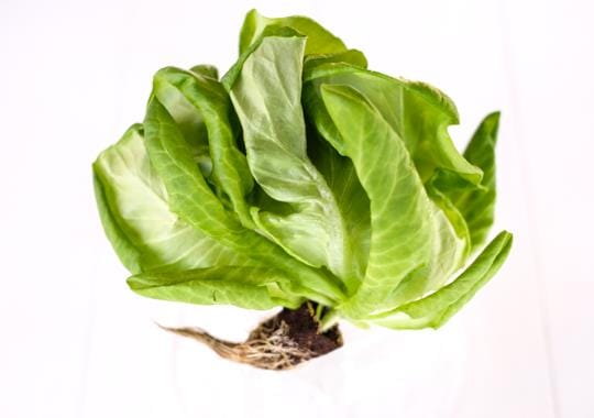 Lettuce (Boston, Living, sml ~80g) - delicate